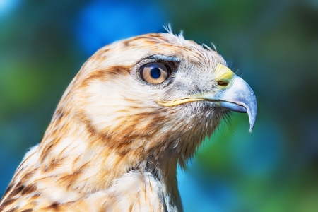 Close portrait of Red-tailed Hawk  Buteo Jamaicensis  photo
