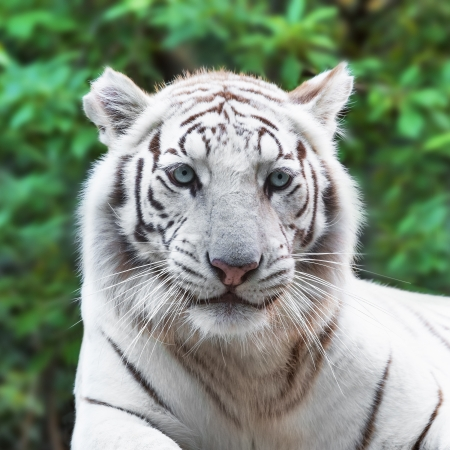 Close portrait of white tiger in the wild photo
