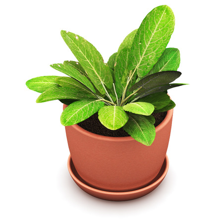 3D render illustration of green Sorrel plant in domestic brown ceramic flower pot isolated on white background