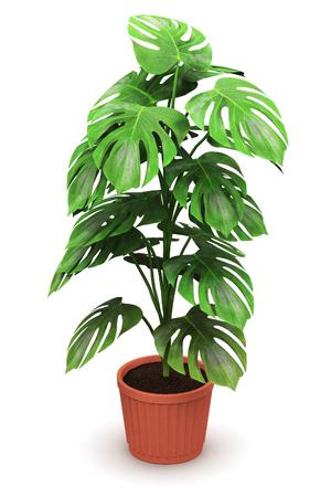 3D auf weißem Hintergrund Illustration der grünen Monstera Anlage in heimischen braun Keramik-Blumentopf machen isoliert Standard-Bild - 66186207