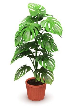 3D render illustration of green Monstera plant in domestic brown ceramic flower pot isolated on white background Banco de Imagens