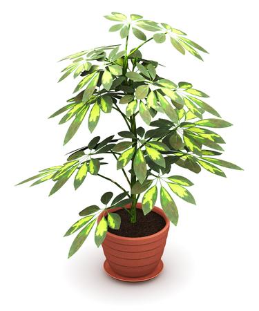 3D render illustration of green Schefflera Arboricola plant in domestic brown ceramic flower pot isolated on white background Stock Photo