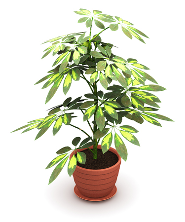 3D render illustration of green Schefflera Arboricola plant in domestic brown ceramic flower pot isolated on white background