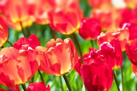 Macro view of red colorful tulip flowers with selective focus and bokeh effect Stock Photo