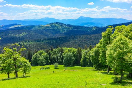 Scenic summer view of Carpathian Mountains landscape with green forests, hills, grassy meadows and blue sky in Ukraine
