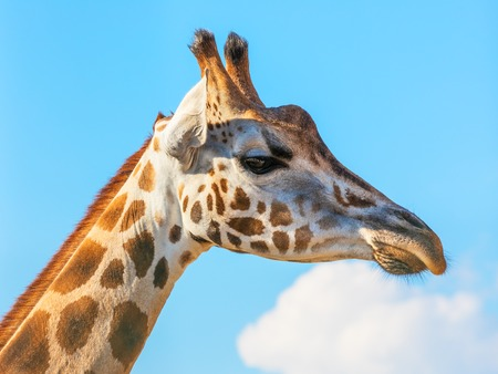 Closeup macro portrait of a giraffe head and face with long neck against blue sky with clouds background