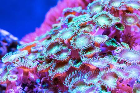 水中のエキゾチックな熱帯の海のリゾートで色サンゴの風光明媚なマクロの表示