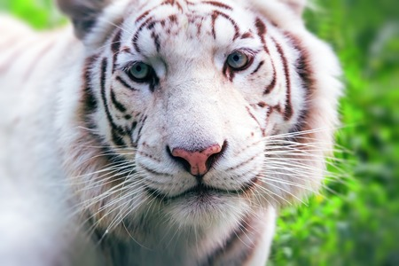 Close portrait of white tiger in the wild