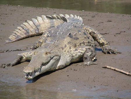 Crocodile on the banks of a Costa Rica river.