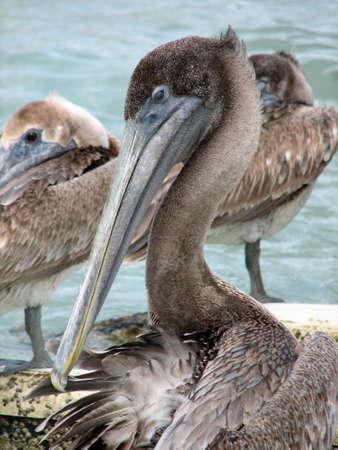 pelecanidae: Pelican preening as the flock looks on. Stock Photo