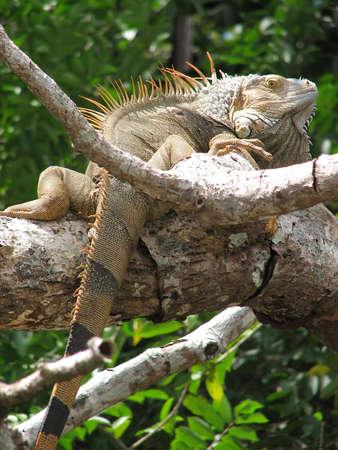 A green iguana along a river in Costa Rica.