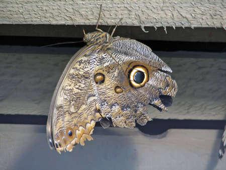 eyespot: Owl butterfly hanging upside down.