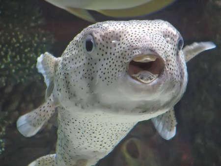 puffer: A curious puffer fish watching you.