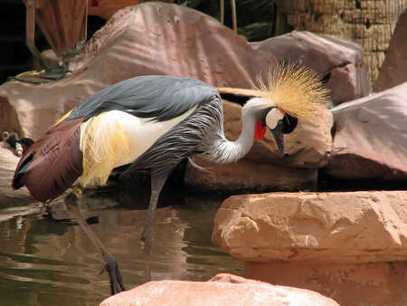 wading: African crowned crane wading in the water. Stock Photo