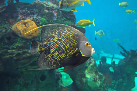 Colorful angelfish in an aquarium. Stock Photo - 1533831