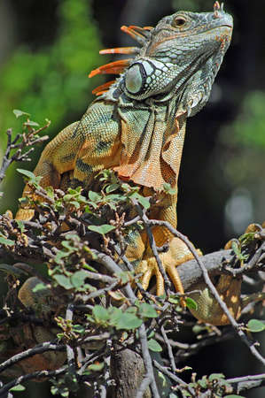 Curious green iguana looking down from the trees in Mexico.