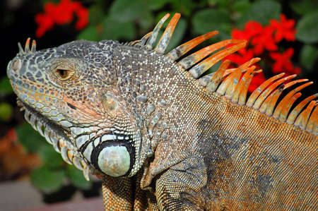 Close-up of green iguana during mating season in Mexico. Stock Photo