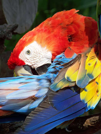 Parrot keeping a watchful eye while preening. photo