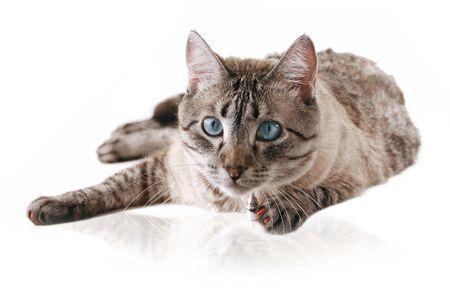 Siamese Cross Cat