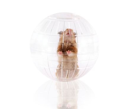Pet hamster playing