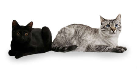 Two cats sitting by each other, Siamese in focus