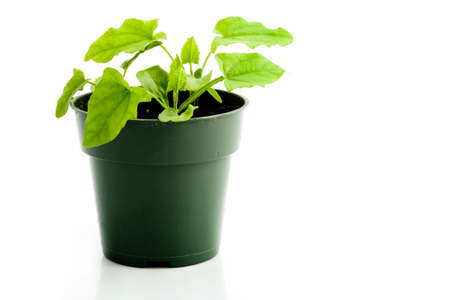 Healthy indoor plant isolated on white
