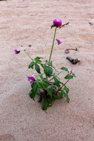 Globe amaranth or Gomphrena globosa Stock Photo - 17565889