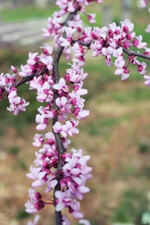 Redbud Tree Stock fotó - 13368671