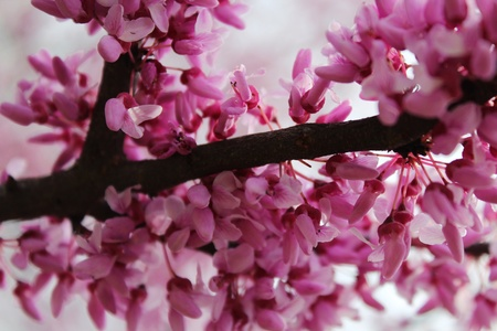 redbud tree: Flowers on a Redbud Tree Stock Photo