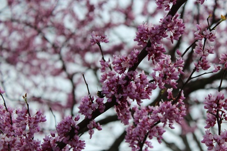 redbud tree: Bee on a Redbud Tree