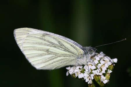 pieridae: cabbage white (Pieris rapae) Stock Photo