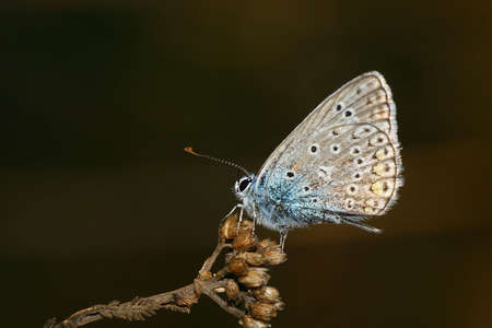 common blue Stock Photo - 3005849