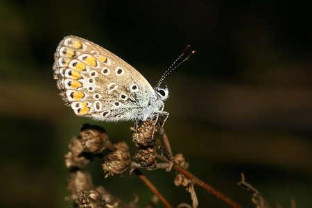 common blue photo