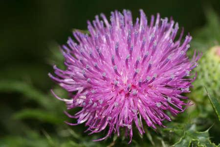 vulgare: thistle - Cirsium vulgare