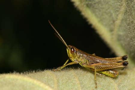 chorthippus: grasshopper - Chorthippus parallelus