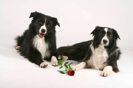 border collie Stock Photo - 3005834