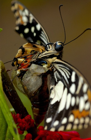 morphing: Morphing butterfly Stock Photo