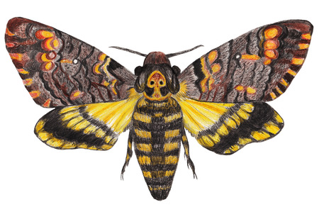 butterfly stroke: Deaths-head moth on white isolated background