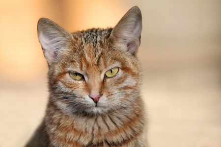 The head of red cat with green eyes photo