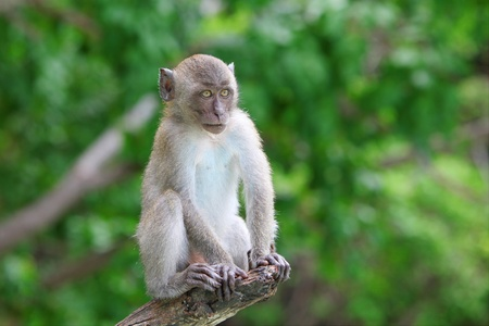 Monkey on Monkey Island, Phuket, Thailand Stock Photo