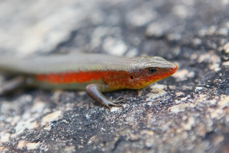 Wild red lizard sitting on the stone photo