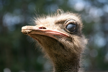 Ostrich emu head with the dirty beak Stock Photo - 14494658