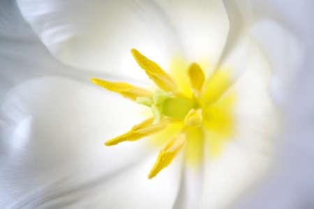 flower close up: Beautiful opened white tulip