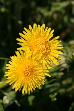 A pair of two yello dandelions photo