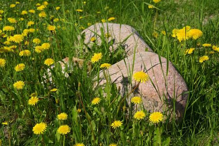 Yello dandelions and two stones on meadow Stock Photo - 13682939