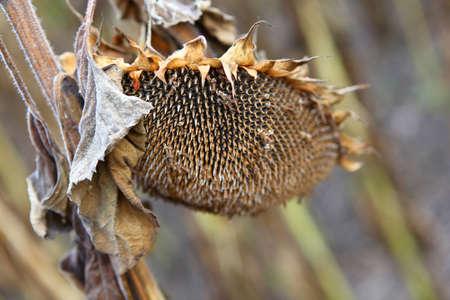 Dry sunflowers under summer heat