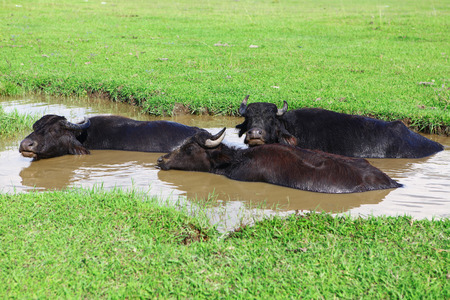 Three buffaloes, laying on pool, escaping from a heat