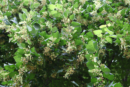 limetree: Lime-tree blossom widely using for treatment tea in medicine