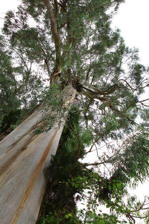 eucalyptus tree: Tall stem of eucalyptus tree in Abkhazia Stock Photo