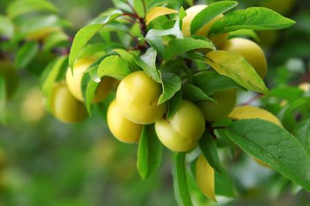 Unripe cherry plum fruit tree in Abkhazia